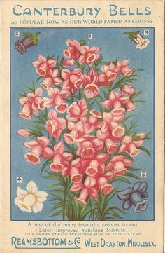 Canterbury Bells seed packet illustration by Reamsbottom & Co., West Drayton, Middlesex, c1934