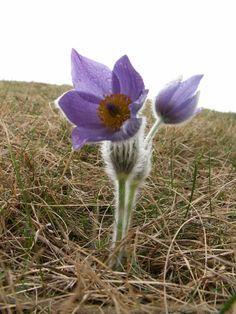 Koniklec velkokvětý je vytrvalá rostlina, kterou nacházíme na loukách a svazích pahorků Eurasie. Je však také oblíbenou skalničkou.