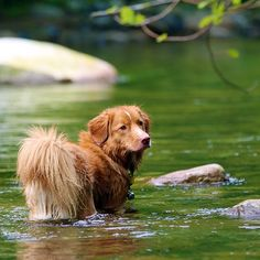 Qantas (Nova Scotia Duck Toller):  Doing what he loves doing best. Swimming.