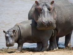 hippopotamus - Google zoeken