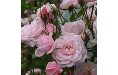 Cl Jeanne Lajoie Miniature Rose