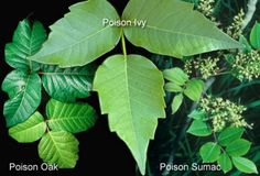 Identifying Poisonous Plants - Camping 101