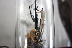 Seahorse glass dome.   Taxidermy, interior, glass dome, seahorses, sealife, seaworld