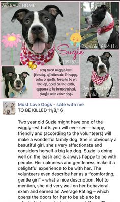 11/8/16 NO ONE CAME FOR THIS WONDERFUL HAPPY GIRL MY HEART ACHES AND MY TEARS ARE STREAMING DOWN MY FACE THE MURDERING CONTINUES AT THE HOUSE OF HORROR - PRECIOUS LITTLE SUZIE WAS HEARTLESSLY MURDERED Manhattan Center SUZIE A1094874 *SAFER AVERAGE HOME** FEMALE, BLACK / WHITE, AM PIT BULL TER / AMERICAN STAFF, 2 yrs STRAY – EVALUATE, NO HOLD Reason STRAY Intake condition EXAM REQ Intake Date 10/26/2016, From NY 10451, DueOut Date 10/29/2016, http://nycdogs.urgentpodr.org/suzie-a1094874/