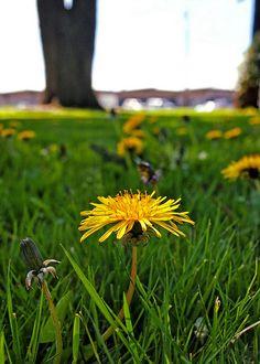 Dandelion closeup  Flickr - Photo Sharing