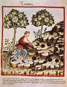14. Jahrhundert, Hausbuch d. Cerruti / Trüffeln / 14.Jh.