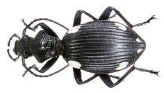 Family: Carabidae Size: 40 mm Location: Kenya, Tsavo National Park leg. U.Schmidt, 1991; det. W.Lorenz Photo: U.Schmidt, 2006