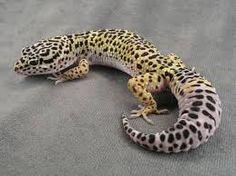leopard gecko - Google Search