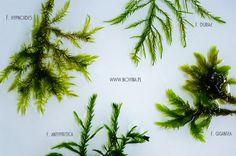 fontinalis willow moss