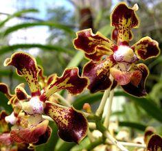 Vanda Merrillii Vanda Orchids, Belleza Natural, All Over The World, Nature, Flowers, Gardens, Beauty, Garden, Verandas