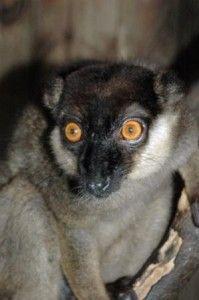 El Lemur De collar blanco