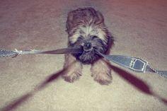 Josie pulling puppy - wheaten terrier