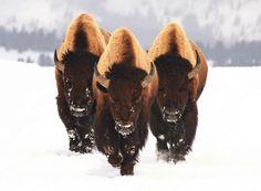 Bison x 3 Spectacular.Bison should be Texas' State Animal! Nature Animals, Animals And Pets, Cute Animals, Wild Animals, Black Animals, Zebras, Beautiful Creatures, Animals Beautiful, Amazing Animal Pictures