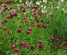 Scabiosa atropurpurea-, conocí esta especie anual resistente (para algunos perenne, pero no en mi jardín) y desde entonces pasó a formar parte del elenco estable de los canteros.