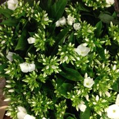Phlox Whitecap...Sold in bunches of 10 stems from the Flowermonger the wholesale floral home delivery service.