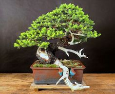 Colorado blue spruce bonsaï - Colin Lewis