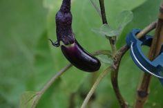 Ichiban Eggplant
