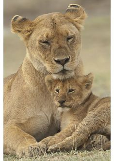 Hahnemuhle PHOTO RAG Fine Art Paper (other products available) - Lion (Panthera leo) cub providing a head rest for its mother, Ndutu Conservation Area, Tanzania - Image supplied by Nature in Print - Fine Art Print on Paper made in the UK Lion Love, Cute Lion, Lion Pictures, Cute Animal Pictures, Beautiful Cats, Animals Beautiful, Cute Baby Animals, Animals And Pets, Wild Animals