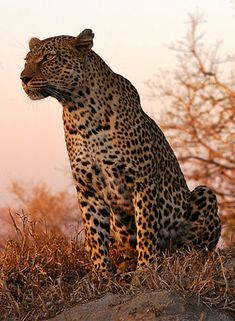 Leopard, Sabi Sands, Kruger National Park, South Africa