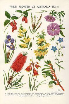 vintage Botanical flower print Australian Wild Flowers Wattle Bottlebrush Kangaroo Paw flower art illustration: