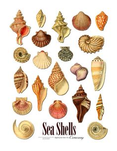 Sea Shells Digital Collage Sheet no256 by Cemerony on Etsy, $2.95