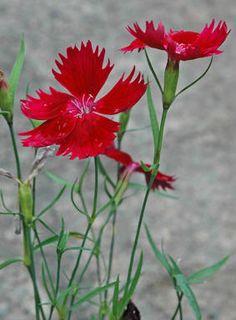 KINESERNELLIK - Dianthus chinensis