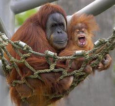 Orangutans by Official San Diego Zoo, via Flickr
