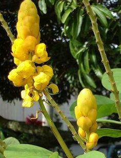 EMPRESS CANDLE  Senna Alta  Regal Sun Kissed Yellow by VikkiVines