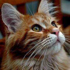 Fuchsi | A Maine Coon boy of my breeder friend. | Buntekuh | Flickr