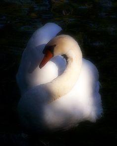 Swan - Natural Elegance - by taterbug