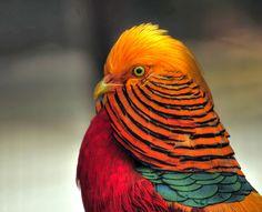 Fotografía Golden Pheasant por Michael Oberman en 500px