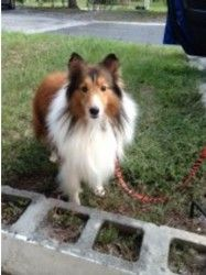 Elliot is an adoptable Shetland Sheepdog Sheltie Dog in Palm Bay, FL. APPLICATION IS REQUIRED PLEASE GO TO OUR WEB SITE WWW.MIDFLSHELTIERESCUE.COM For safety reasons, an Adoption Application must be f...
