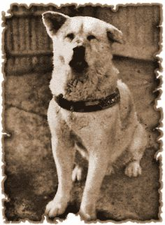 Most famous Japanese Akita (Akita Inu), Hachiko.  This dog is under the word LOYAL in the dictionery!!!
