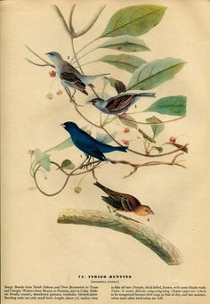 Old 1941 Antique Vintage Book JOHN JAMES AUDUBON Birds of America Bookplate of Water-color Painting Plate Blue Indigo Bunting 74. $4.00, via Etsy.