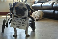 Ok, I know it's not a weenie but I know Doxie lovers could appreciate this one!  Wheels don't slow this pug down!