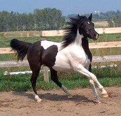 black tobiano horses | black tobiano