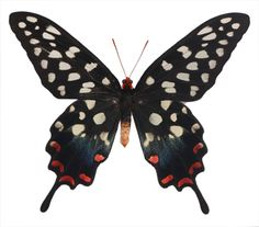 Papilio antenor Spotted Swallowtail