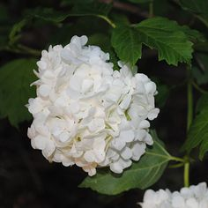 Snowball Bush (Viburnum opulus roseum); which I crave!