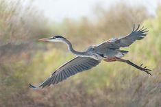Full Flight |Great Blue Heron