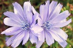 Fleur de Bach Chicory correspond aux chiens qui réclame sans arrêt de l'attention et qui ne supportent pas l'indifférence, le rejet de leurs maîtres.