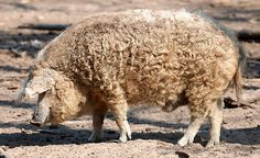 The Mangalica is a Hungarian breed of domestic pig. It was developed in the mid-nineteenth century by cross breeding Hungarian breeds from Szalonta and Bakony with the Serbian Šumadija breed. The Mangalica pig grows a thick wooly coat similar to that of a sheep. The only other pig breed noted for having a long coat is the extinct Lincolnshire Curly Coat of England.