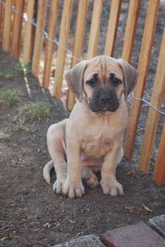 Black mouth Cur Pup