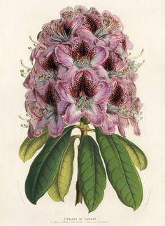 Rhododendron Etendard de Flandre.