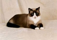 Snowshoe cats are show-offs and extraverts by nature, they take pleasure in swimming, baths and just playing in running water, like the Siamese they don't like to be alone, they are fun loving and will play catch
