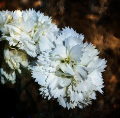 White Dianthus Photograph by Deena Stoddard - White Dianthus Fine Art Prints and Posters for Sale fineartamerica.com
