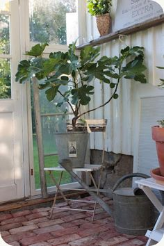 FIG TREE Container Plants, Container Gardening, Gardening Tips, Garden Junk, Home And Garden, Fig Tree, Cottage, Deck Design, Back Gardens