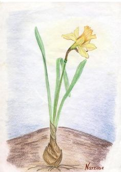 Waldorf ~ 5th grade ~ Botany ~ Daffodil ~ main lesson book