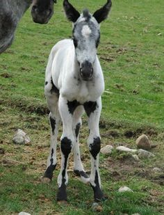 Adorable black and white markings on this foal. Stunning horse when he grows up!