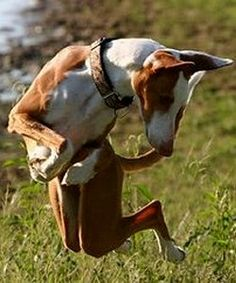 Ibizan Hound - Balearic Dog - Podenco Ibicenco - Ca Eibisenc