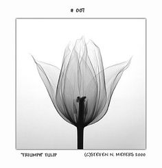 Triumph Tulip by Stephen N Meyers Radiographs of nature is dedicated to fine art x-ray photography of nature.